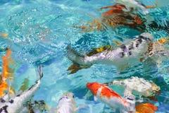 被弄脏的背景中国金鱼在有净水的池塘 免版税库存图片