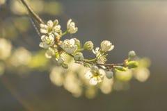 被弄脏的背景招标枝杈开花的李子 库存图片
