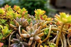被弄脏的背景的多汁植物 免版税库存图片