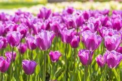 被弄脏的背景美丽的紫色精美郁金香在公园 库存照片