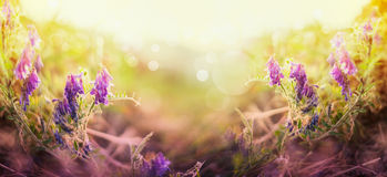 被弄脏的自然背景用巢菜属植物开花,网站的横幅 库存照片