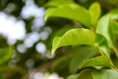 被弄脏的自然绿色叶子 免版税库存图片