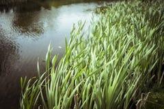 被弄脏的芦苇和湖5月 库存照片
