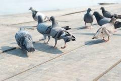 被弄脏的鸽子 免版税图库摄影