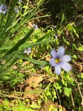 被弄脏的紫色花 库存照片