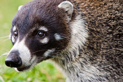 被引导的动物性食品goati搜索白色 库存图片