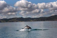 被引导的瓶海豚 图库摄影