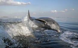 被引导的瓶海豚 免版税图库摄影