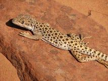 被引导的豹子蜥蜴长的男 库存照片