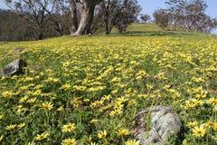 被归化的Daisys -维多利亚的Goldfields 免版税库存照片