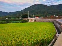 被归档的稻米 库存照片
