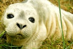被憔悴的小海豹 库存照片