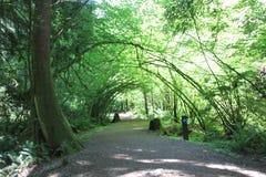 被成拱形的藤槭树 库存照片