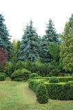 被截去的黄杨属和杉树 免版税库存图片