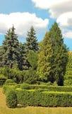 被截去的黄杨属和杉树 免版税库存照片