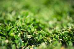 被截去的黄杨木潜叶虫灌木,一点被弄脏 库存图片