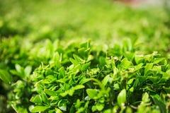 被截去的黄杨木潜叶虫灌木,一点被弄脏 免版税库存图片