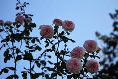 被扎营的绽放玫瑰 库存图片