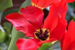 被打开的红色郁金香II 免版税库存照片