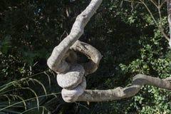 被打结的树 免版税图库摄影