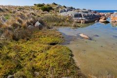被打结的俱乐部仓促,生长在沿海的五颜六色的串珠的厚岸草 免版税图库摄影