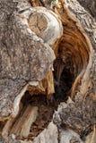被打结的树分裂 免版税库存照片