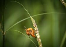 黑被打翻的橙色甲虫 免版税图库摄影