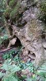 被打结的老树 免版税库存图片