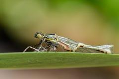 被扭屈的大红色蜻蜓(Pyrrhosoma nymphula)与exuvium 免版税库存照片