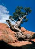 被扭转的杉木 免版税库存照片