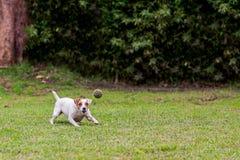 被投掷的球的Aport跑的杰克罗素狗 免版税库存照片