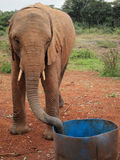 被抢救的大象 库存照片