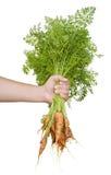 被拉的红萝卜新鲜有机 免版税库存图片