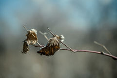 被拍摄的干叶子紧密  免版税图库摄影