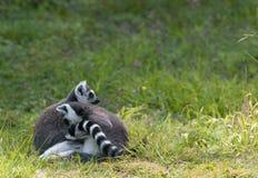 被拥抱的二只狐猴 库存照片