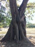 被拥抱的树干 免版税库存照片