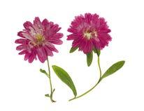 被按的和干花翠菊Michaelmas雏菊,被隔绝 免版税图库摄影