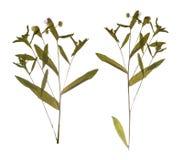 被按的干分支春天领域花 野花干燥标本集  免版税库存照片
