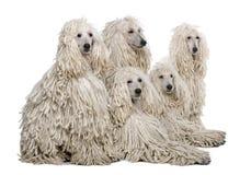 被捆绑的长卷毛狗标准白色 图库摄影