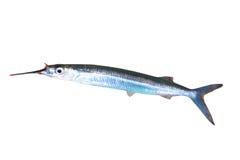 被捉住的新鲜的长嘴硬鳞鱼 免版税库存照片