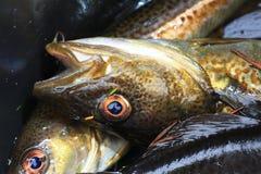 被捉住的新鲜的鳕鱼 库存图片