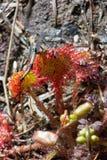 被捉住的蜻蜓sundew 免版税图库摄影
