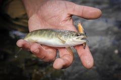被捉住的野生鳟鱼在山河 特写镜头 图库摄影