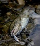被捉住的野生鳟鱼在山河 特写镜头 免版税库存照片