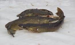 被捉住的鱼新近地 免版税图库摄影