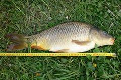 被捉住的鱼的测量 库存照片