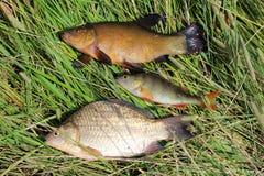 被捉住的鱼鲤属鱼,栖息处和crucian 库存图片