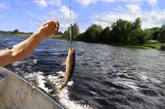 被捉住的鱼 免版税库存图片