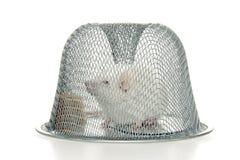 被捉住的鼠标 图库摄影