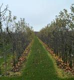 被损坏的苹果在果树园 免版税图库摄影